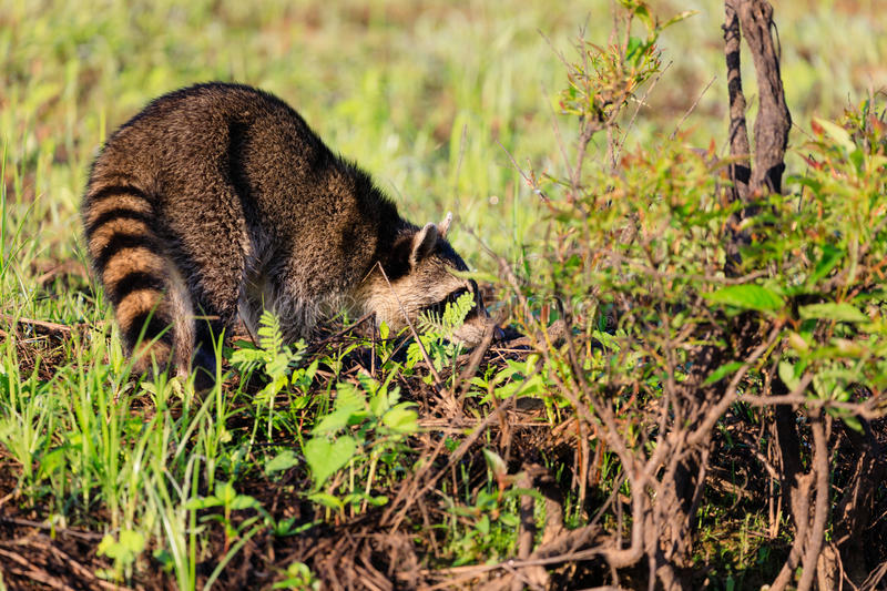 A raccoon foraging for breakfast in the early hours of the morning at Bald Knob Wildlife Refuge. In Bald Knob, Arkansas stock image
