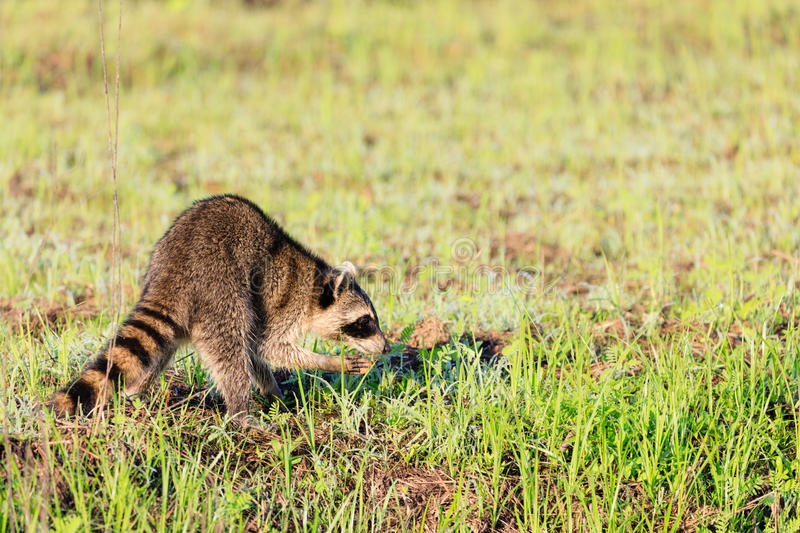 A raccoon foraging for breakfast in the early hours of the morning at Bald Knob Wildlife Refuge. In Bald Knob, Arkansas royalty free stock image