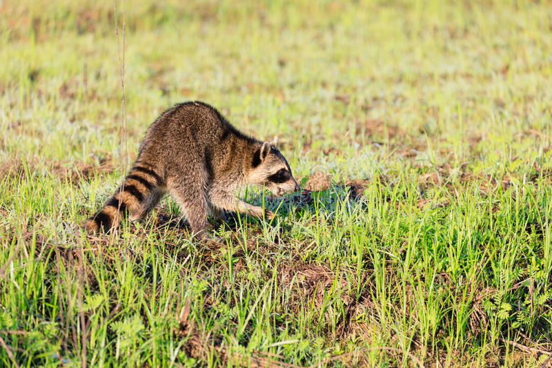A raccoon foraging for breakfast in the early hours of the morning at Bald Knob Wildlife Refuge. In Bald Knob, Arkansas royalty free stock photos