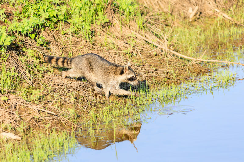 A raccoon foraging for breakfast in the early hours of the morning at Bald Knob Wildlife Refuge. In Bald Knob, Arkansas royalty free stock photo