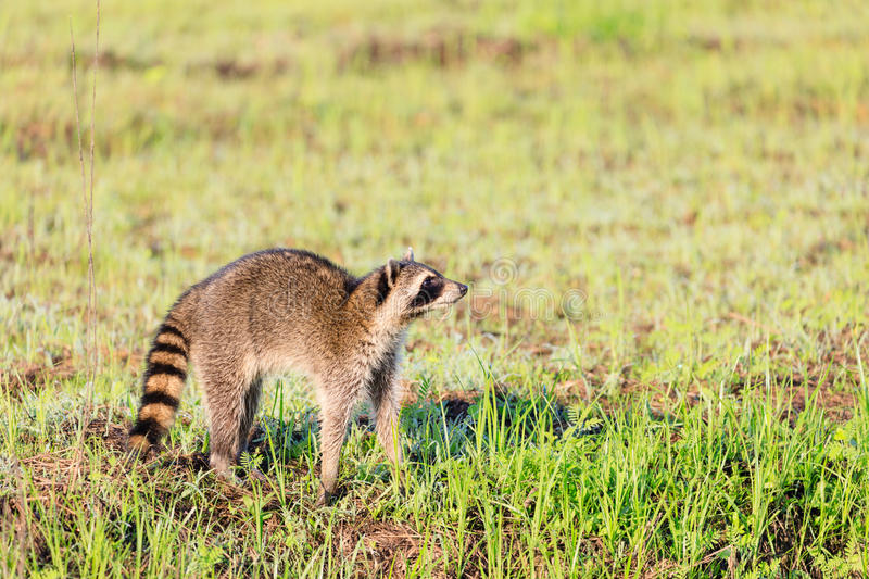 A raccoon foraging for breakfast in the early hours of the morning at Bald Knob Wildlife Refuge. In Bald Knob, Arkansas stock photography