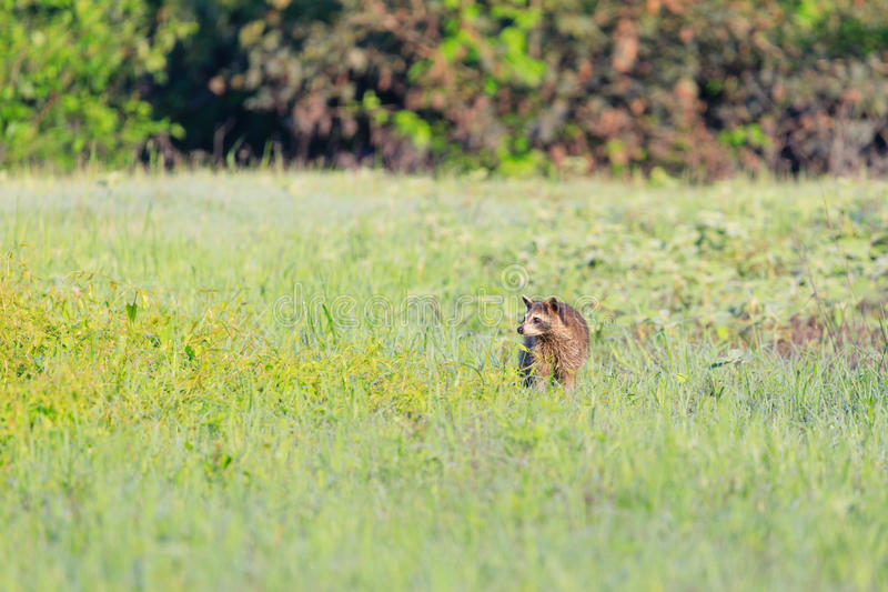 A raccoon foraging for breakfast in the early hours of the morning at Bald Knob Wildlife Refuge royalty free stock image