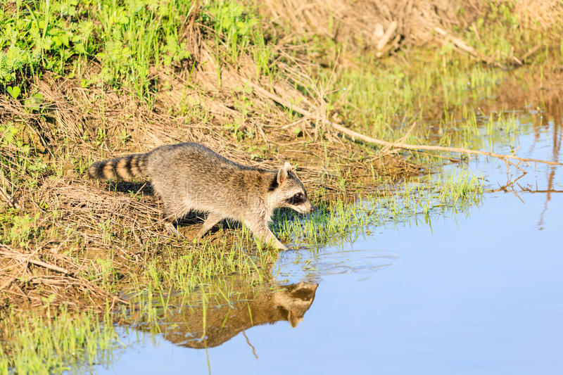 A raccoon foraging for breakfast in the early hours of the morning at Bald Knob Wildlife Refuge royalty free stock photography