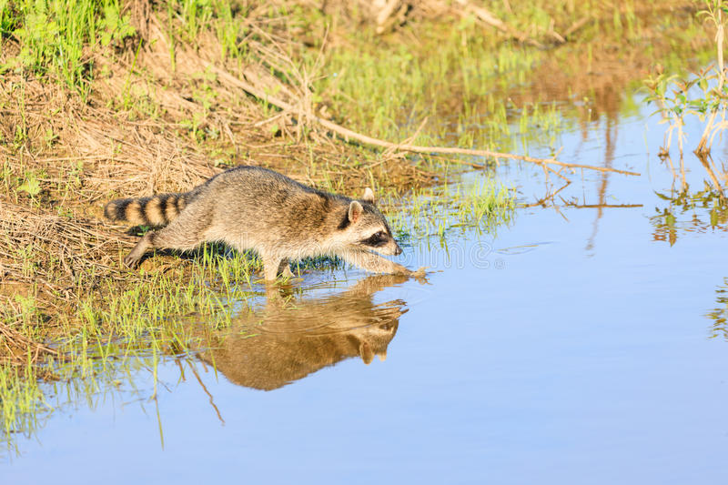 A raccoon foraging for breakfast in the early hours of the morning at Bald Knob Wildlife Refuge stock photography