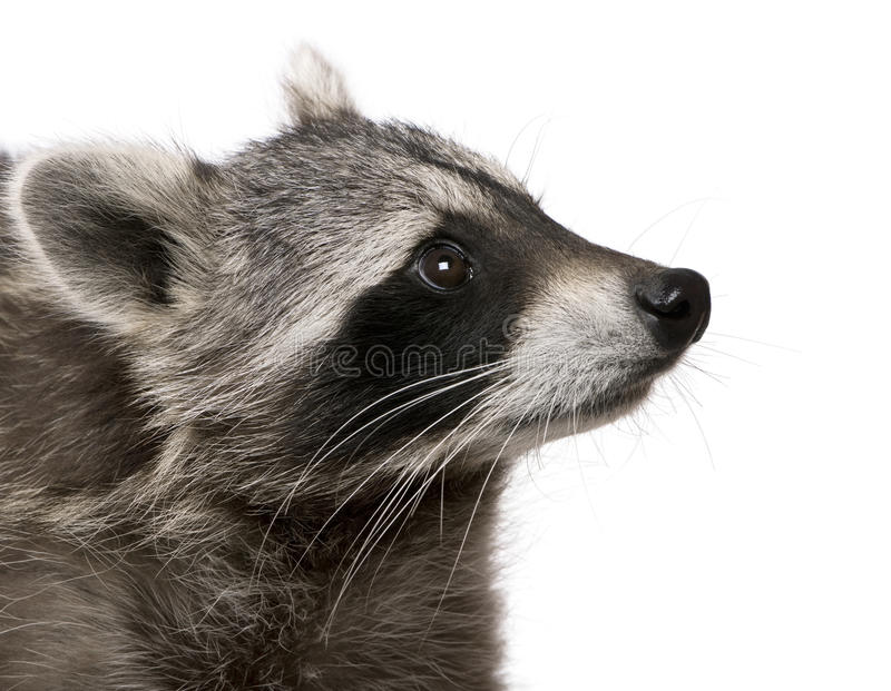 Raccoon in front of white background stock images