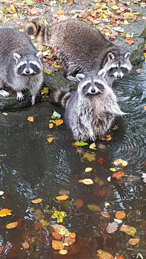 Raccoon gang. The Raccon gang in the Nature. Very cool royalty free stock photo