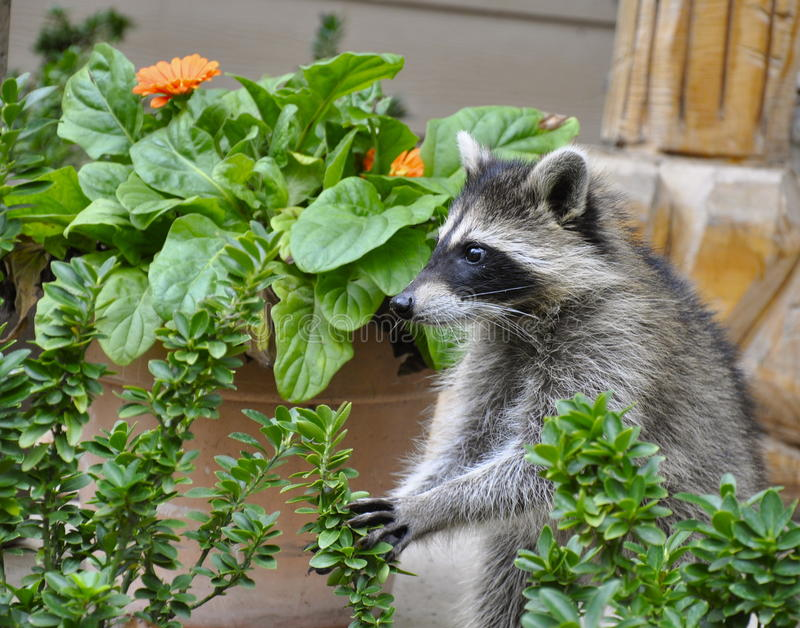 Raccoon in garden stock images