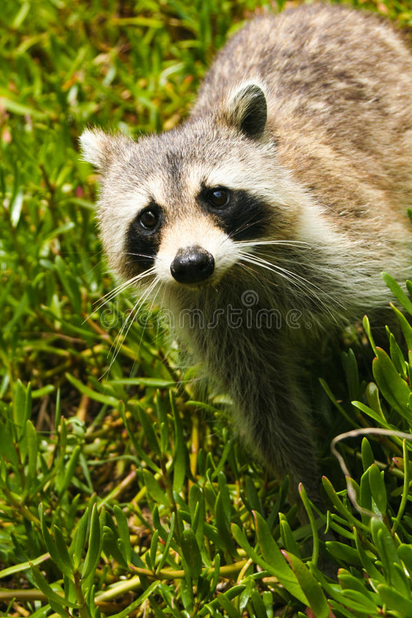 Raccoon in grass royalty free stock image