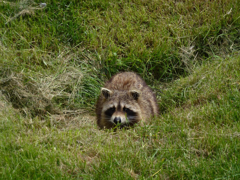 Raccoon. Hiding in the grass stock photography