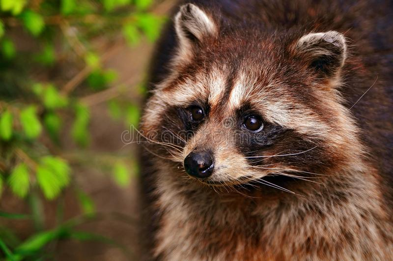Raccoon i en tree royaltyfria bilder
