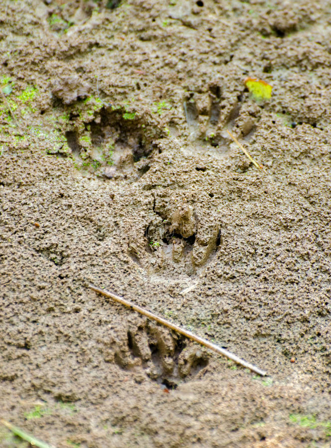 Raccoon Impression. Raccoon Prints left in soft mud of an ephemeral beaver pond royalty free stock photos