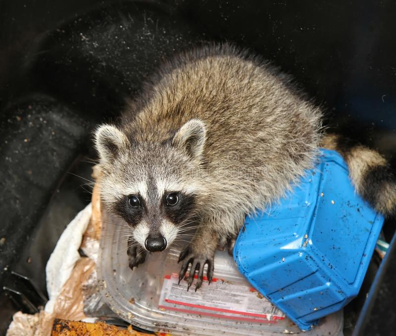 Raccoon inside a garbage can stock images