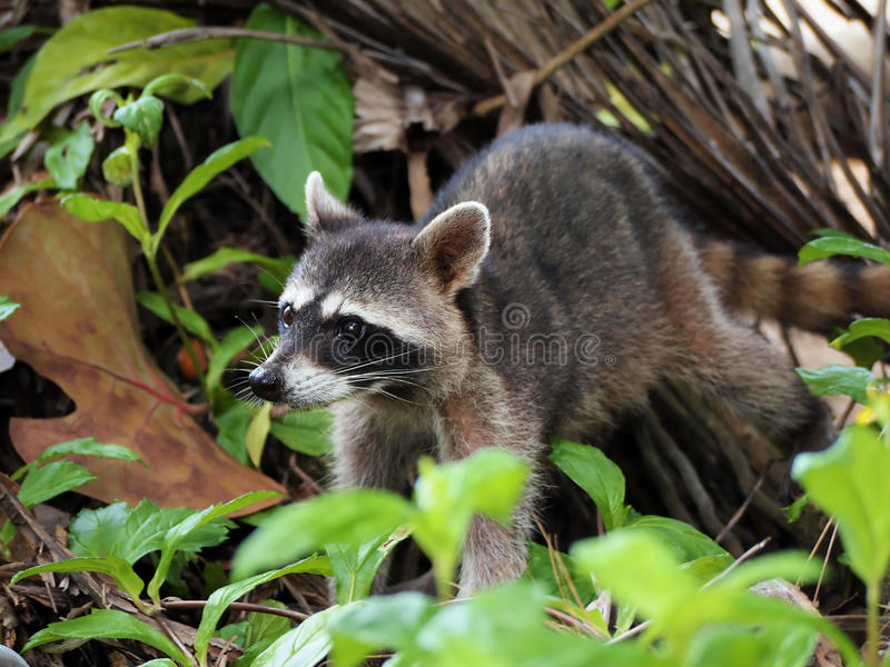 Raccoon in the jungle of Costa Rica stock photo