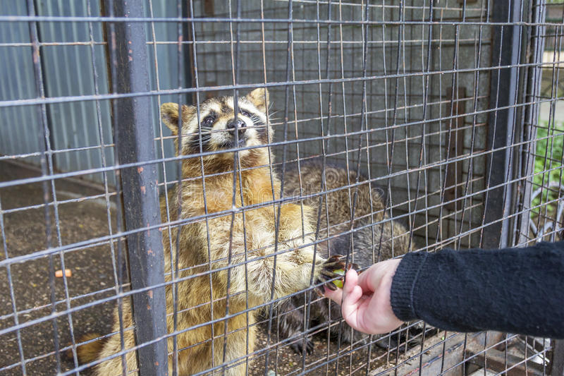 Raccoon at the Limpopo Zoo. Nizhny Novgorod, Russia. NIZHNY NOVGOROD, RUSSIA - June 7, 2017: Raccoon at the Limpopo Zoo takes grapes from the visitor`s hands royalty free stock photos