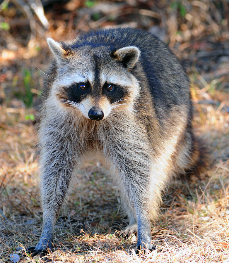 Free Raccoon Looking Royalty Free Stock Image - 11307296