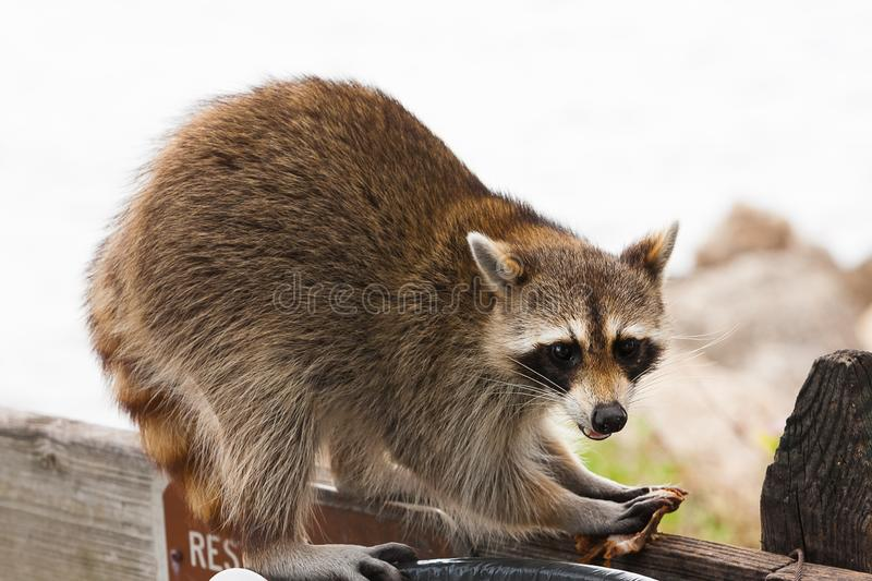 Raccoon looking for food in trash stock photography