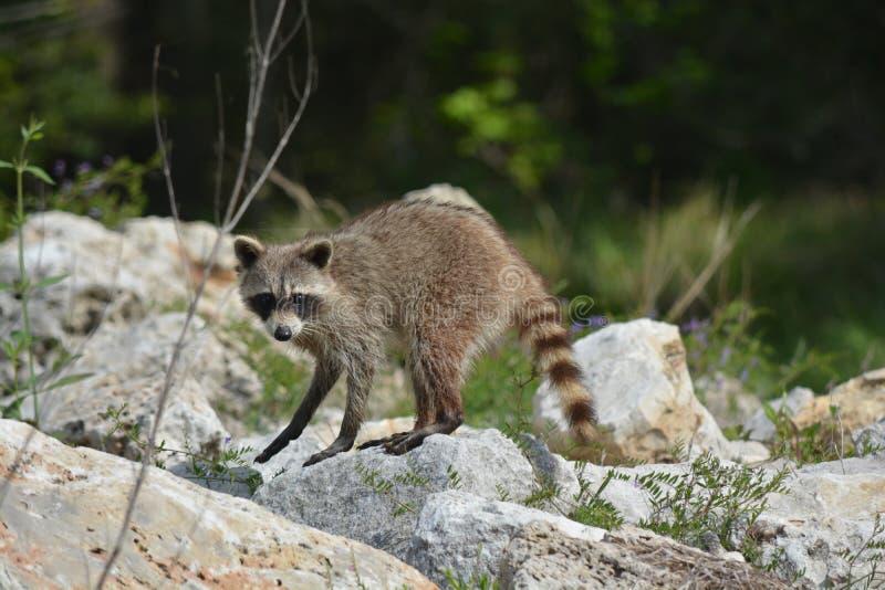 raccoon looking stock photo