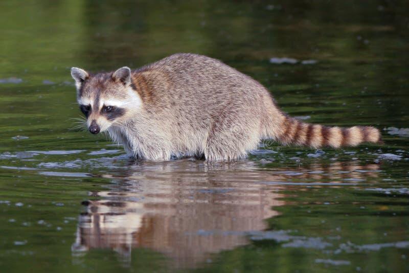 Raccoon, lotor del Procyon immagini stock