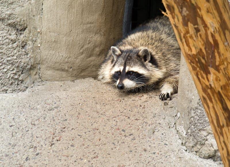 Raccoon (lotor del Procyon) fotografia stock libera da diritti
