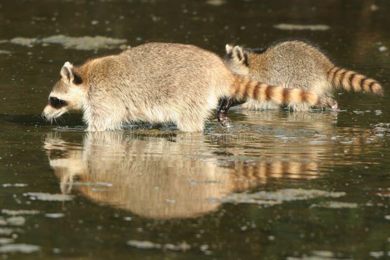 Raccoon, lotor do Procyon fotos de stock
