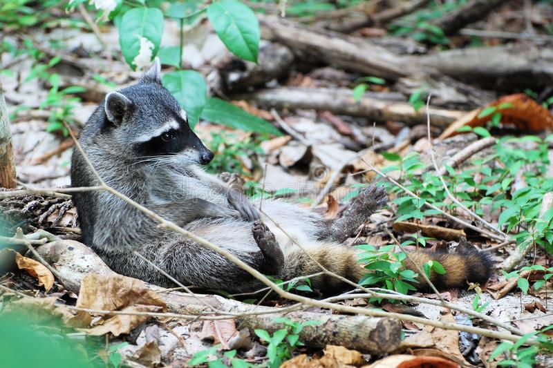 Lying Raccoon on his back, adhere to cleaning. North AmericanRaccoon lying on his back, adhere to cleaning, Costa Rica, Manuel Antonio National Park royalty free stock images