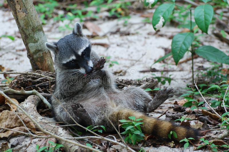 Raccoon lying on his back, makes his paws clean. North AmericanRaccoon lying on his back, makes his paws clean, Costa Rica, Manuel Antonio National Park royalty free stock photography