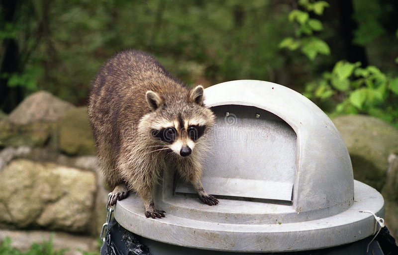 Raccoon na lata de lixo   fotografia de stock royalty free