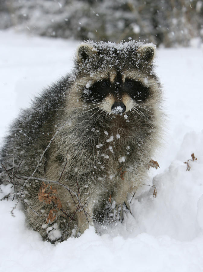 Raccoon na neve fotografia de stock royalty free