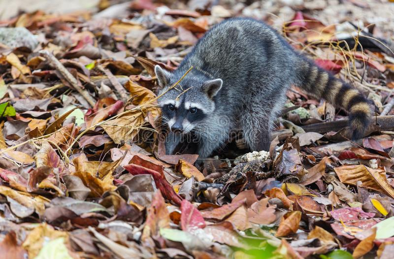raccoon foto de stock
