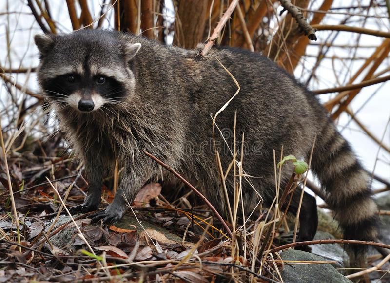 Raccoon nos arbustos foto de stock