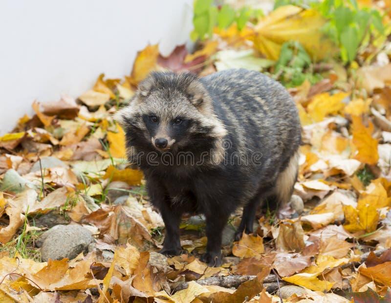 Raccoon imagens de stock