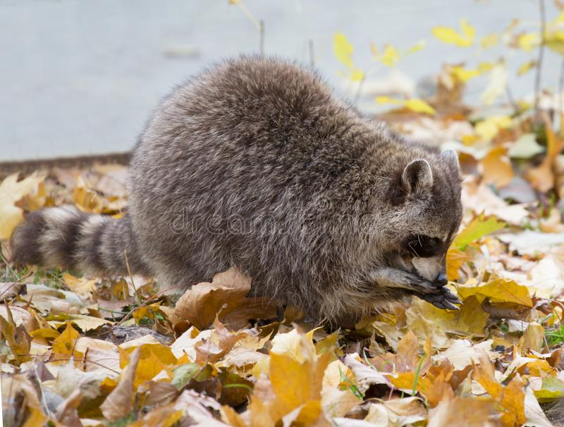 Raccoon imagem de stock royalty free
