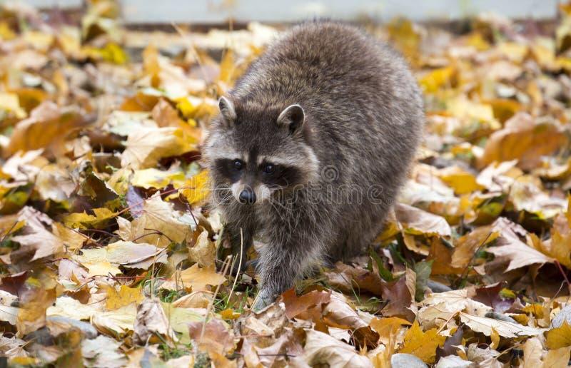 Raccoon imagem de stock