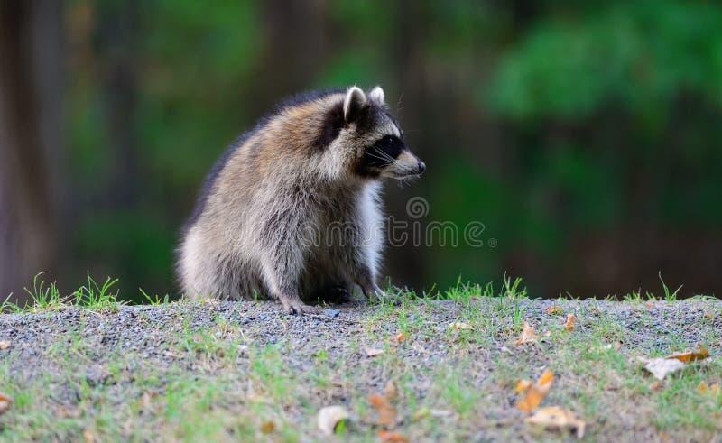 Download Raccoon stock image. Image of raccoon, closeup, canada - 32019317