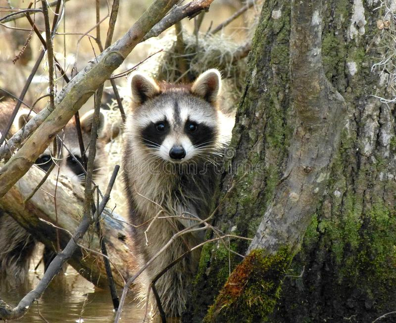 Do you see two Raccoons royalty free stock images
