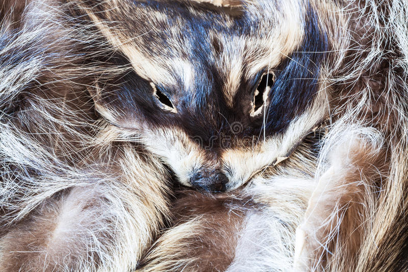 Raccoon pelt with head close up stock photos
