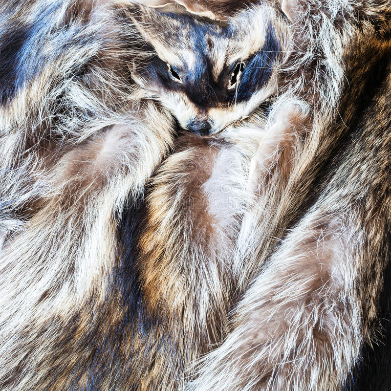 Raccoon pelts with head. Material for fur clothing - raccoon pelts with head royalty free stock images