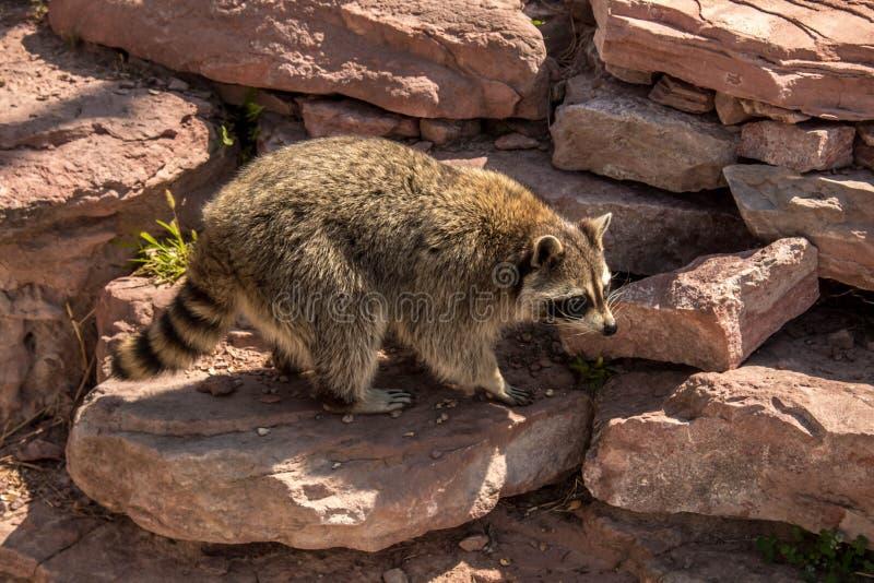 Raccoon playing on the red rocks. Cute raccoon playing on the red rocks royalty free stock photo