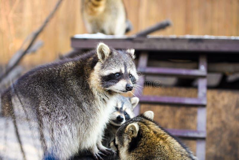 Raccoon portrait. Adorable, animal, bear, black, burglar, closeup, curiosity, curious, cute, eye, face, family, fauna, forest, fun, funny, fur, furry, happy royalty free stock images