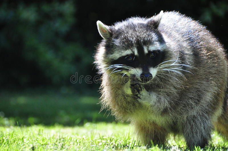 Raccoon. Posing in the middle of the day, mmm what kind of food I am going to steal, I am a little thief. Location Stanley Park ,Vancouver, Canada stock image
