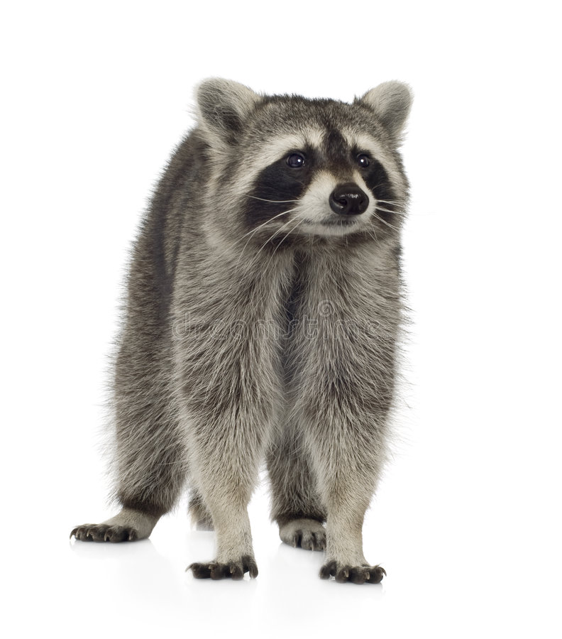 raccoon procyon 9 месяцев lotor стоковые изображения rf