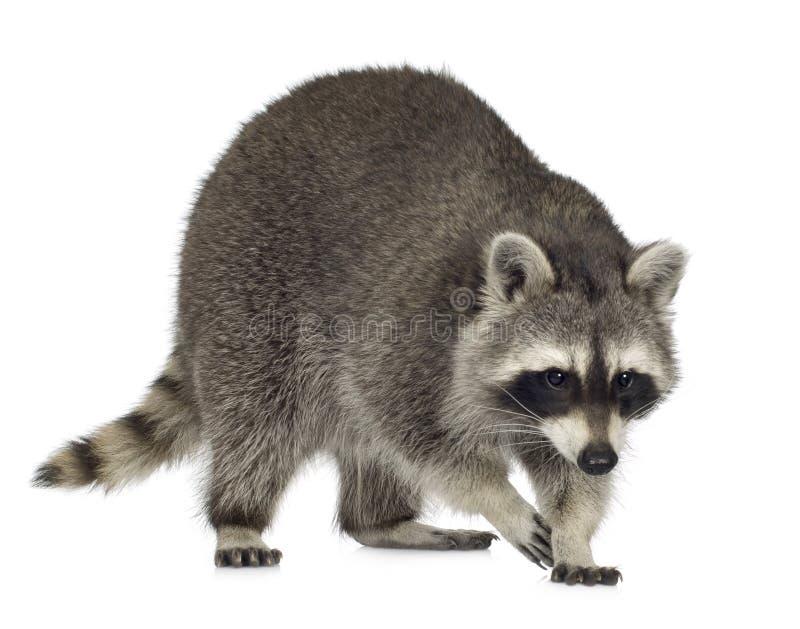 raccoon procyon 9 месяцев lotor стоковое фото