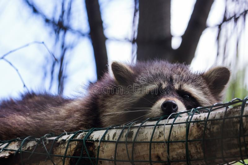 Raccoon Procyon lotor. Kaunas, Lithuania - June 27, 2015: Raccoon Procyon lotor in Lithuanian Zoological Garden in Kaunas, the oldest scientific zoo in Lithuania royalty free stock image