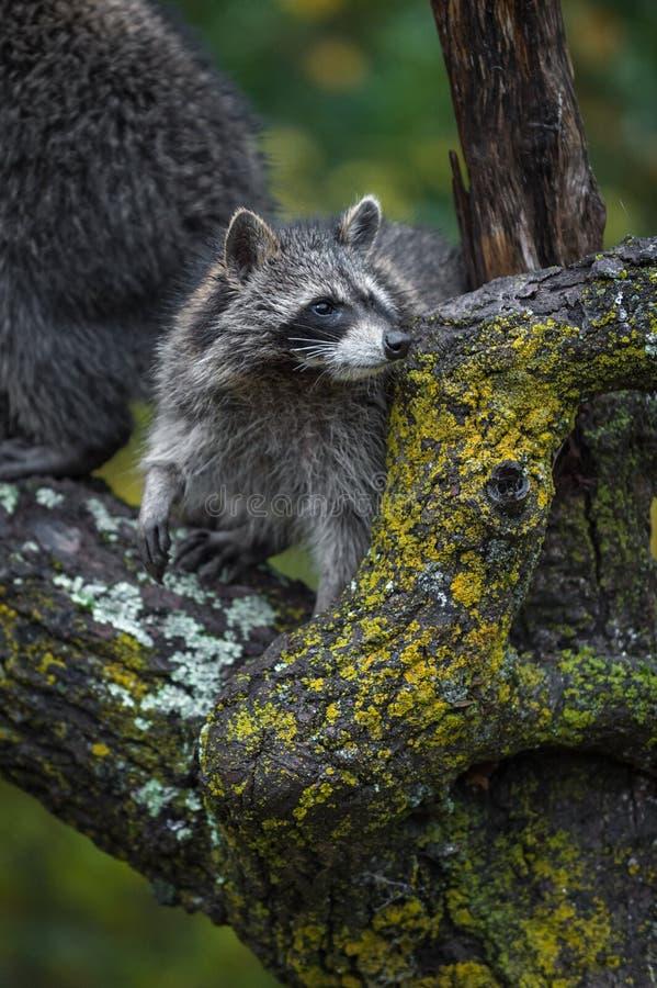 Raccoon Procyon lotor kijkt recht over de herfst van de boomtak royalty-vrije stock foto's