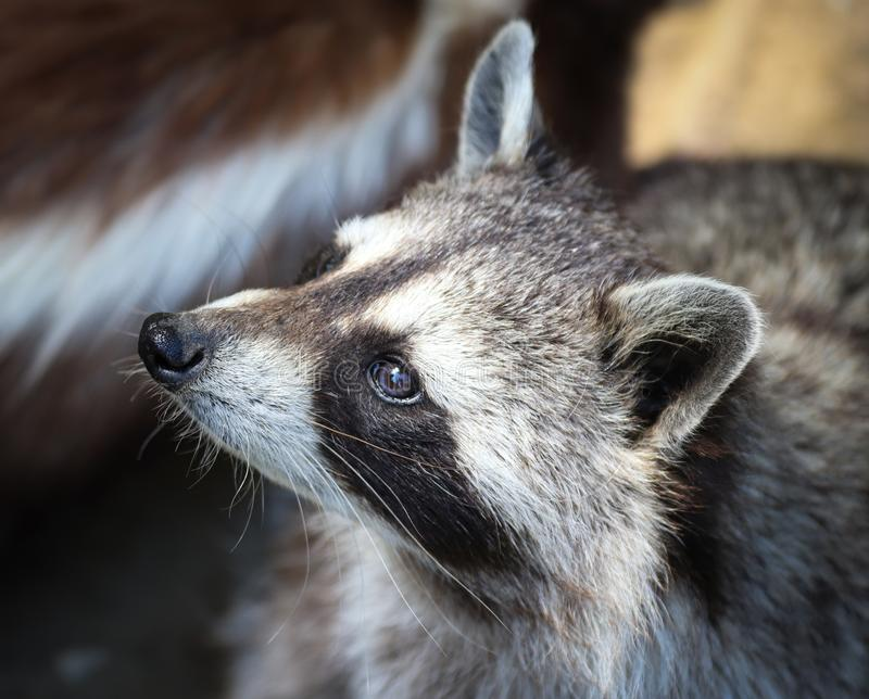 The raccoon, Procyon lotor stock images