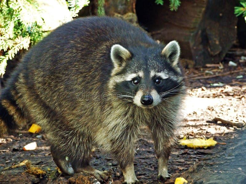 The raccoon Procyon lotor, Racoon, common raccoon, North American raccoon, Der Waschbär or Nordamerikanischer Waschbär stock image