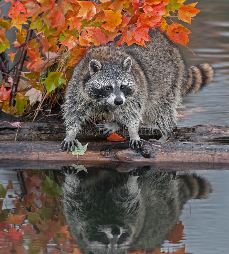 Download Raccoon (Procyon Lotor) Stands Spread Legged On Log In Water Stock Photo - Image of water, outdoors: 36536966