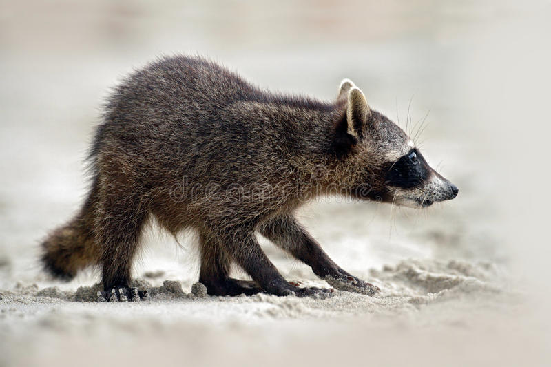 Raccoon, Procyon lotor, walking on white sand beach in National Park Manuel Antonio, grey animal in the nature habitat, Costa Rica. Central America stock photo