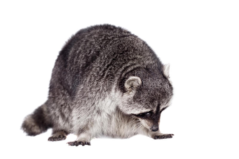 Raccoon (Procyon lotor) on the white background. Raccoon (15 years old) - isolated on the white background royalty free stock image