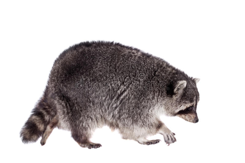 Raccoon (Procyon lotor) on the white background. Raccoon (15 years old) - isolated on the white background royalty free stock photo